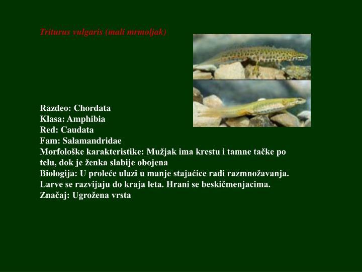 Triturus vulgaris (mali mrmoljak)
