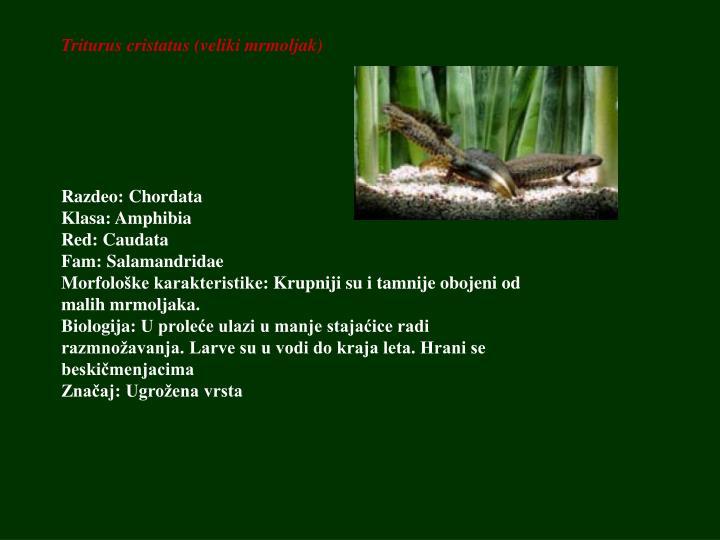 Triturus cristatus (veliki mrmoljak)