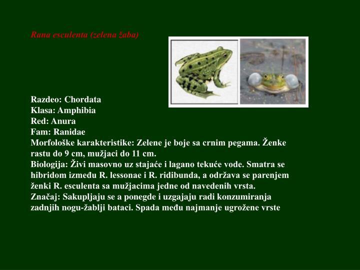 Rana esculenta (zelena žaba)