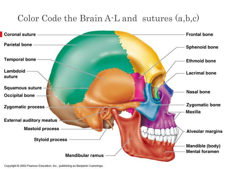 Color Code the Brain A-L and  sutures (a,b,c)