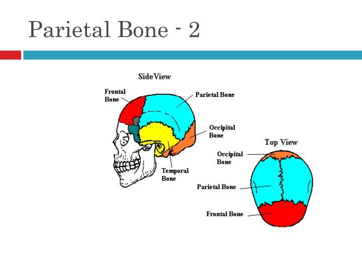 Parietal Bone - 2