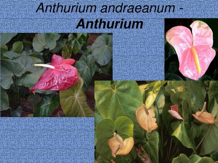 Anthurium andraeanum -