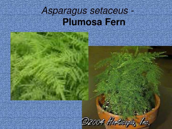 Asparagus setaceus -