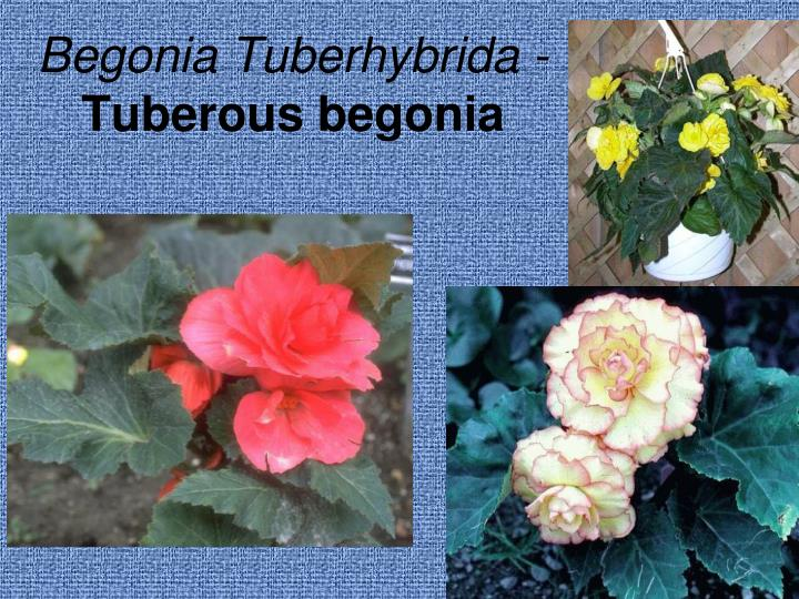 Begonia Tuberhybrida -
