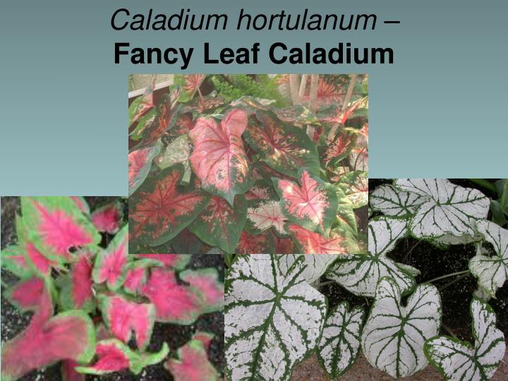 Caladium hortulanum –