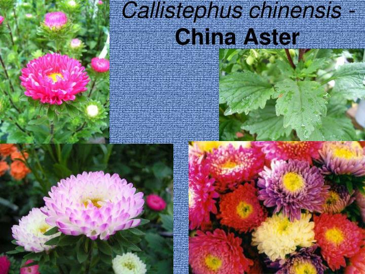 Callistephus chinensis -