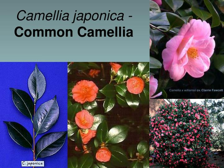 Camellia japonica -