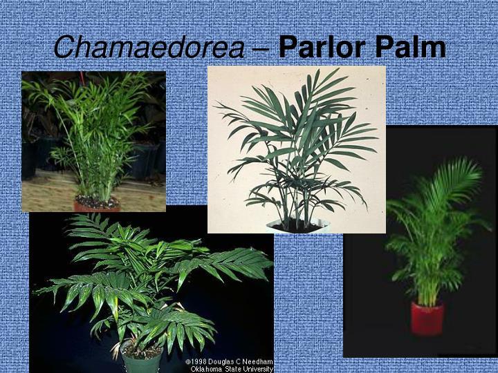 Chamaedorea –