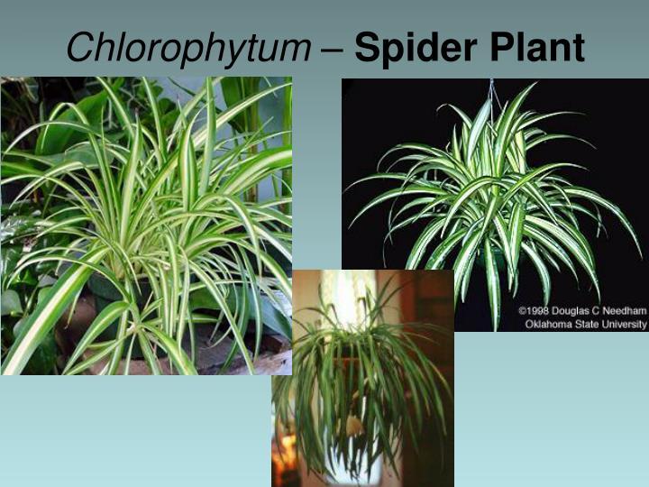Chlorophytum –