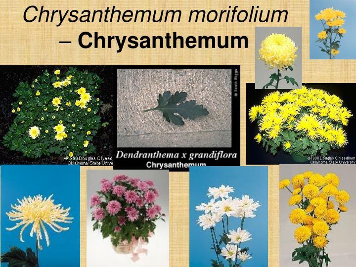 Chrysanthemum morifolium –
