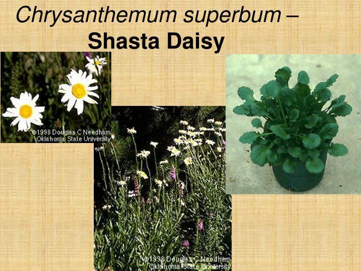 Chrysanthemum superbum –