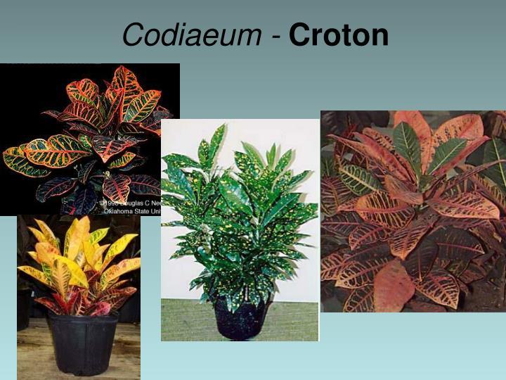 Codiaeum -