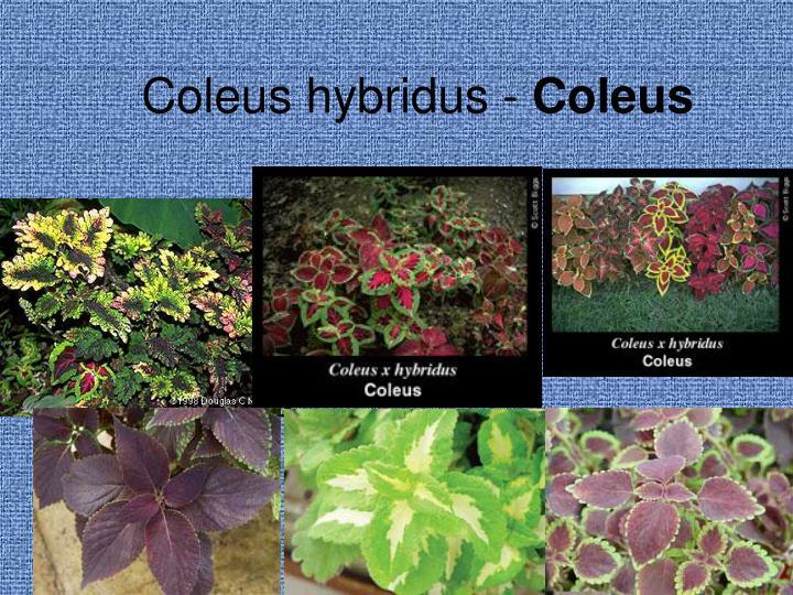 Coleus hybridus -