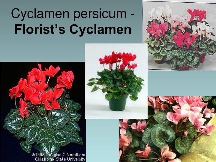 Cyclamen persicum -