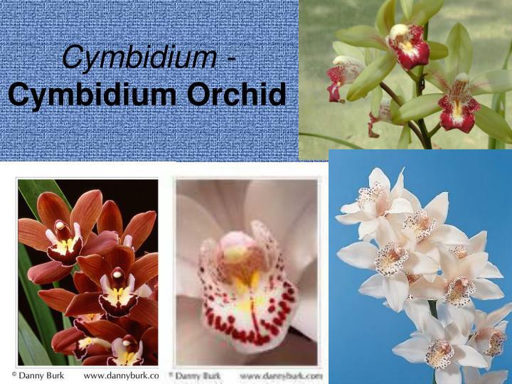 Cymbidium -