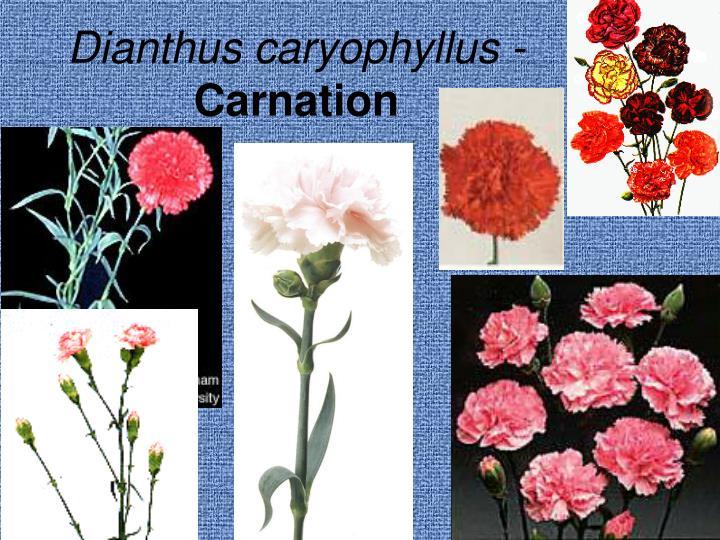 Dianthus caryophyllus -