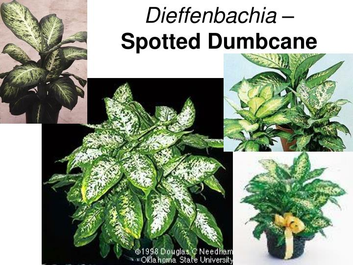Dieffenbachia –