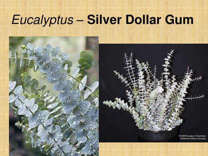 Eucalyptus –
