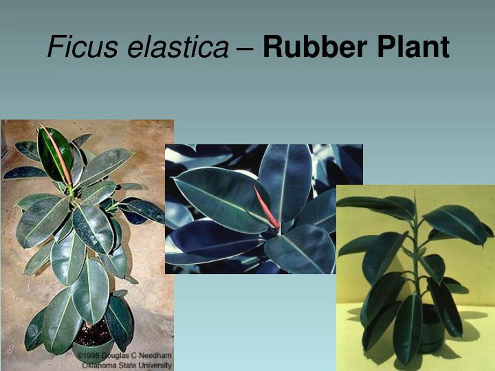 Ficus elastica –