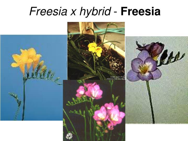 Freesia x hybrid