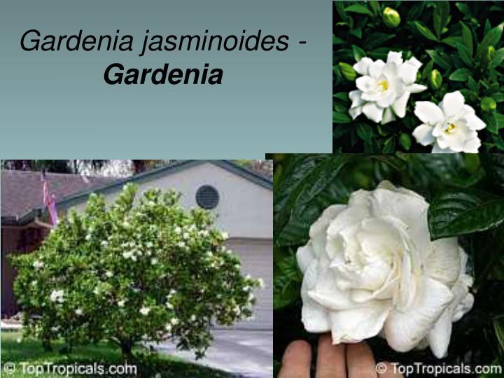Gardenia jasminoides -