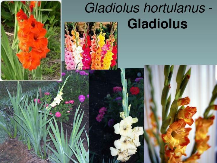 Gladiolus hortulanus