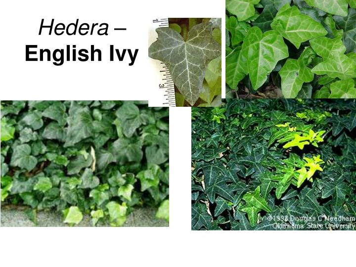 Hedera –