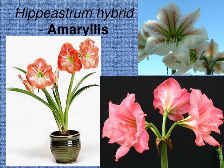 Hippeastrum hybrid