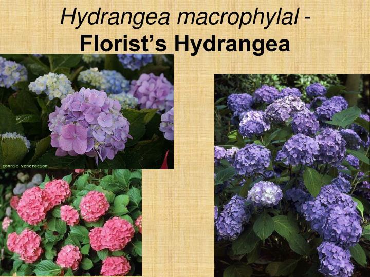 Hydrangea macrophylal