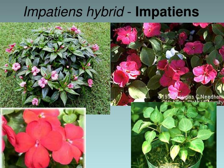 Impatiens hybrid