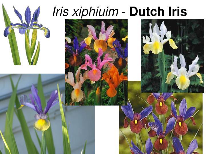 Iris xiphiuim
