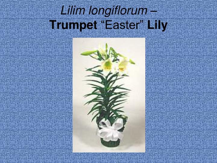 Lilim longiflorum