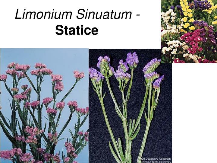 Limonium Sinuatum -