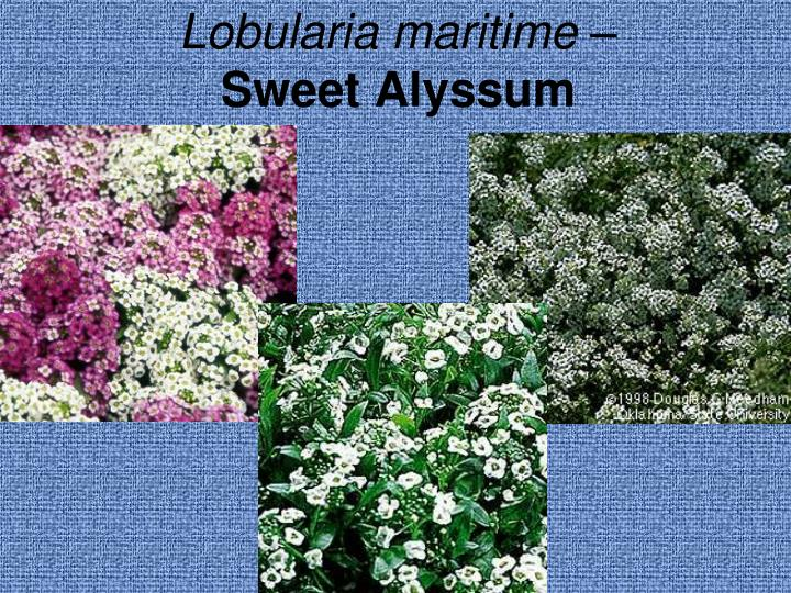 Lobularia maritime –