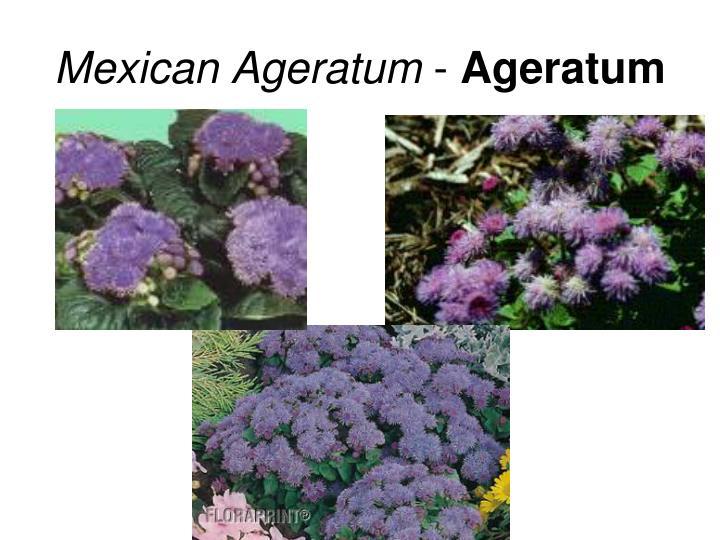 Mexican Ageratum
