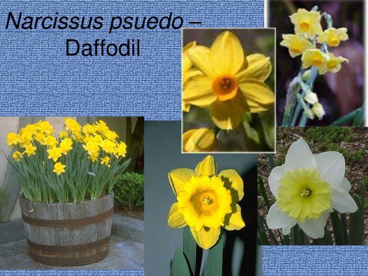 Narcissus psuedo –