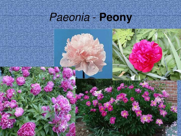 Paeonia