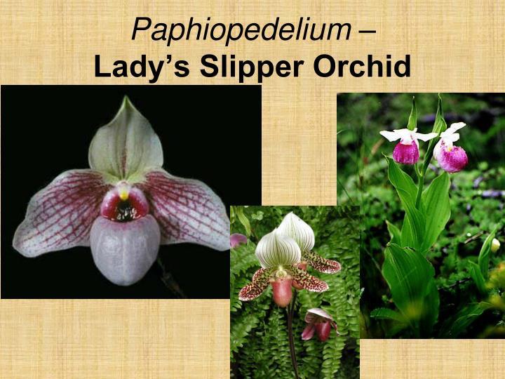 Paphiopedelium