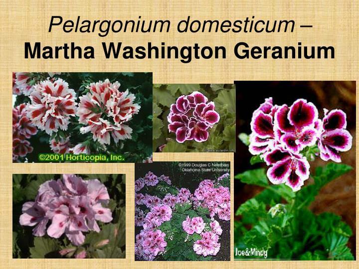 Pelargonium domesticum –