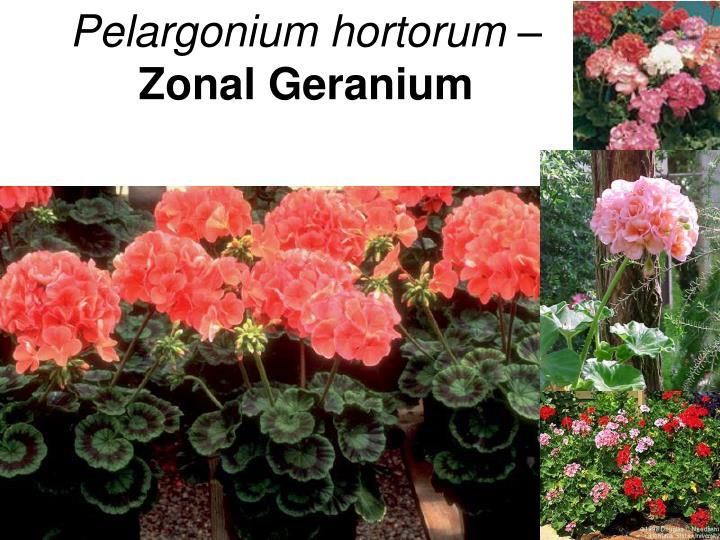 Pelargonium hortorum –