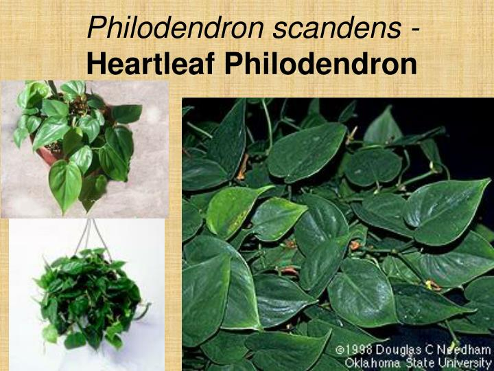 Philodendron scandens -