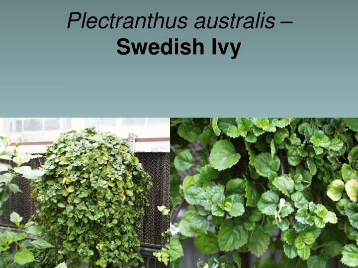 Plectranthus australis –