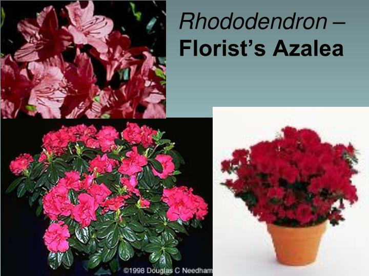 Rhododendron –