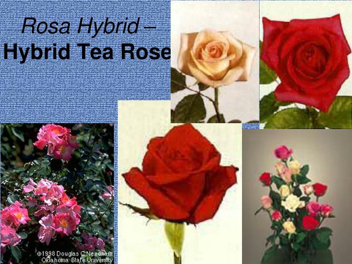 Rosa Hybrid