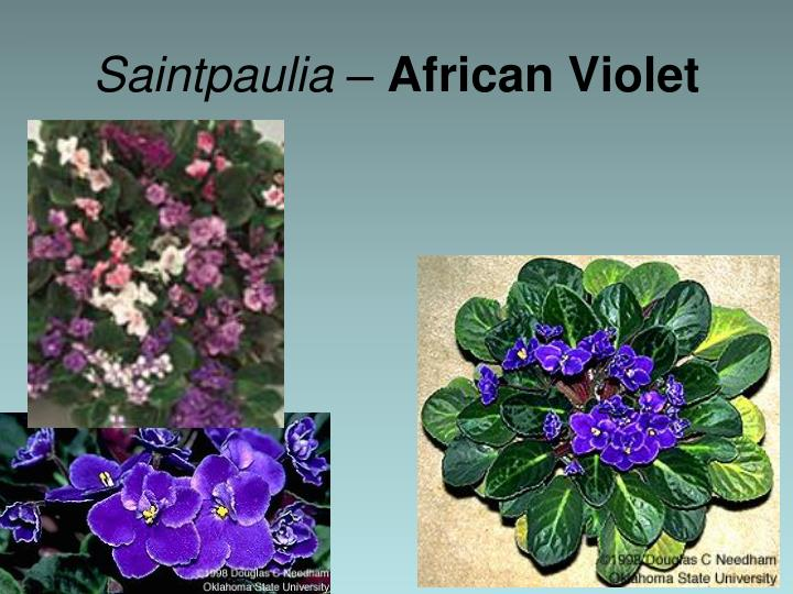 Saintpaulia –