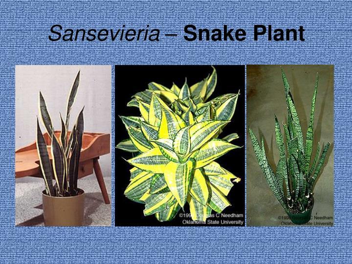 Sansevieria –