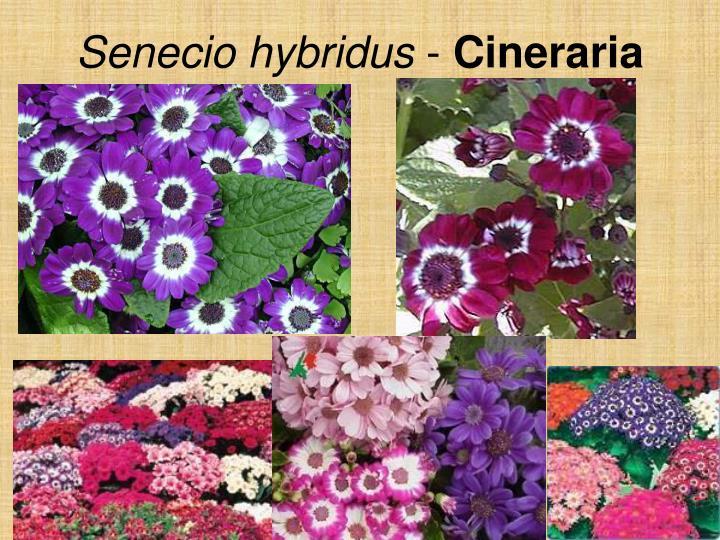 Senecio hybridus