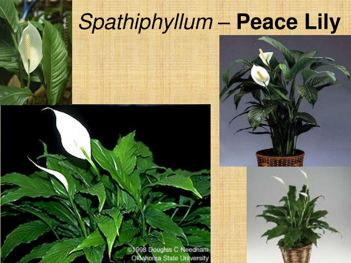 Spathiphyllum –
