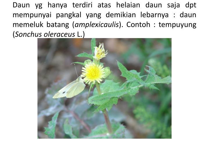Daun yg hanya terdiri atas helaian daun saja dpt mempunyai pangkal yang demikian lebarnya : daun memeluk batang (