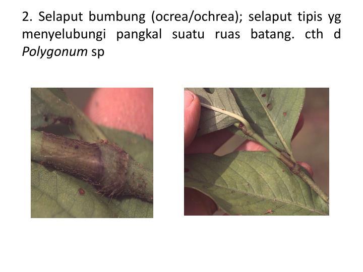 2. Selaput bumbung (ocrea/ochrea); selaput tipis yg menyelubungi pangkal suatu ruas batang. cth